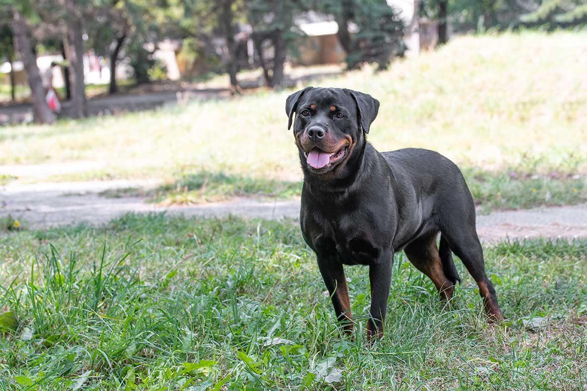 Seguros para perros potencialmente peligrosos